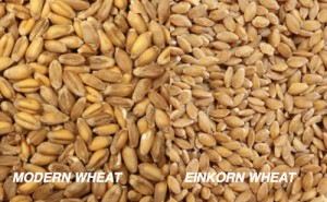 einkornwheat-DiffBefore milled300x185