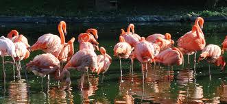 flamingoscarotenoids