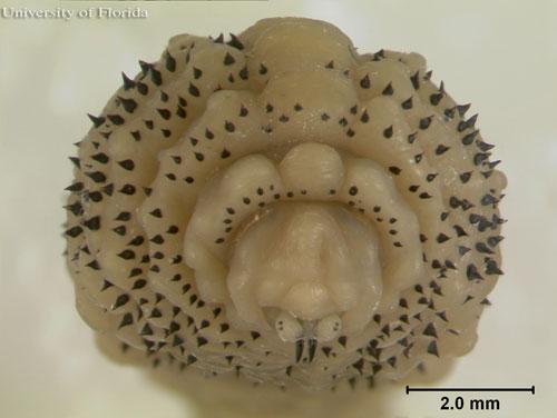 larva-mouth-wound-debridem