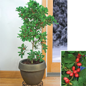 Miracle-Berry-Plant