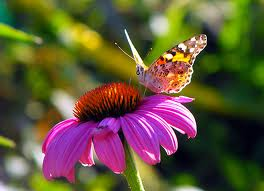 purple-coneflower-echinacea