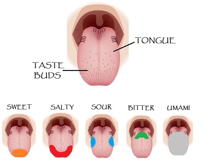 Tongue-Five -different-taste-buds