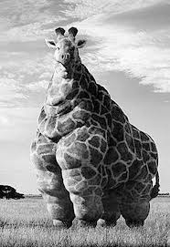 giraffe-morbidily-obese1