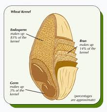whole-wheat-kernel-cross-section