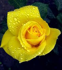 yellow-rose-vision-color