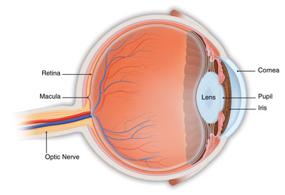 cross-section-of-eye-showing-retina-macula-area