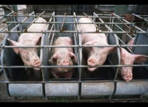 pig-pen-prison