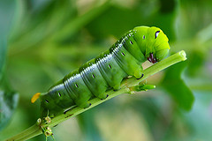 caterpillar-larve-for-human-food