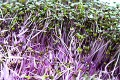 Renovating-Your-Mind-on microgreens