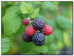 black-raspberry-picture-bush