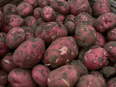 down-and-dirty-red-potatoes-but-good-eating-spuds