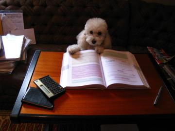 poodle-studying-wearing glasses-with book