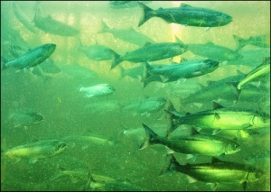 salmon-run-fresh-water
