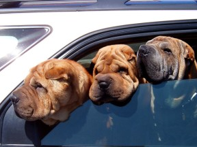 three-dogs-looking-out-car-side-window-need-suntan-lotion-for-protection-cancer