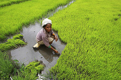 rice-paddies-where-plant-is grown-in-beds-man-tending-rice