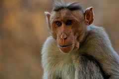 monkeys-unlike-most-homo-sapiens-do-not-usually-eat-meat-protein