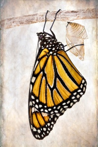 post-metamorphosis-monarch-butterfly