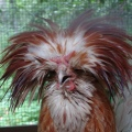 RENOVATING-YOUR-MIND-does-poultry-dirty-bird-that-needs-good-clean-up-prep-chicken-with-too-much-hair-gel