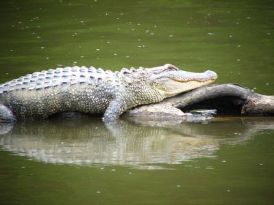 alligator-basking-in-sun-for-vitamin-D-fun