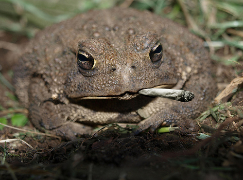 mellow-toad-smoking-cannabis-after-lon