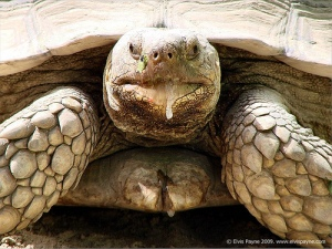 salivating-enormous-turtle