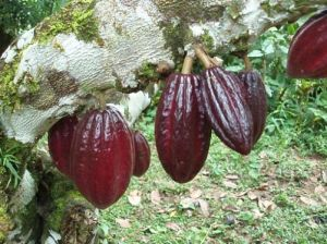 cocoa-bean-pod-hanging-from-tree