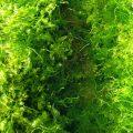 green-edible-seaweed-sea-vegetable-high-in-iodine