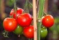 RENOVATING-YOUR-MIND-discusses-health-benefits-of-tomatoes-pic-of-tomatoes-green-red-hanging-on-vine
