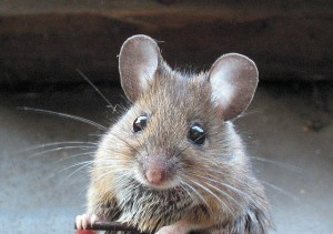 cute-mouse-looks-with-into-the-camera