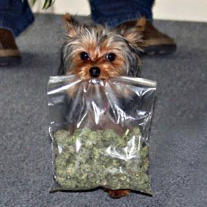 doggy-canabis-roll-me-one-marijuana-dog1