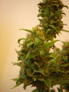 flowering-cannabis-plant-marijuana