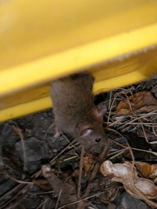 mouse-eating-peanuts