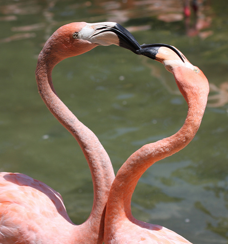 flamingo-kissing-another-forming-heart-love-sign-with-their-bodies